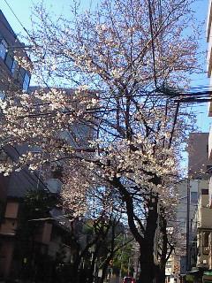 桜(^-^)